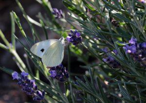 narava metulj sivka